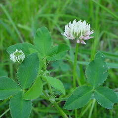 Leaves: Trifolium hybridum. ~ By Arthur Haines. ~ Copyright © 2018. ~ arthurhaines[at]wildblue.net
