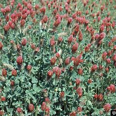 Plant form: Trifolium incarnatum. ~ By Carl Dennis. ~ Copyright © 2019 CC BY-NC 3.0. ~  ~ Bugwood - www.bugwood.org/
