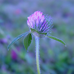 Flowers: Trifolium pratense. ~ By Arthur Haines. ~ Copyright © 2017. ~ arthurhaines[at]wildblue.net