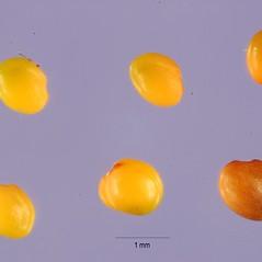 Fruits: Trifolium purpureum. ~ By Tracey Slotta. ~  Public Domain. ~  ~ USDA-NRCS Plants Database - plants.usda.gov/java/