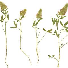 Plant form: Trifolium purpureum. ~ By Botanic Garden and Botanical Museum Berlin-Dahlem. ~ Copyright © 2017 CC BY-SA. ~  ~ Botanic Garden and Botanical Museum Berlin-Dahlem - ww2.bgbm.org/Herbarium/default.cfm