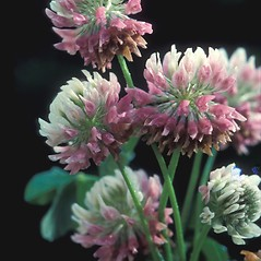 Flowers: Trifolium repens. ~ By Albert Bussewitz. ~ Copyright © 2019 New England Wild Flower Society. ~ Image Request, images[at]newenglandwild.org