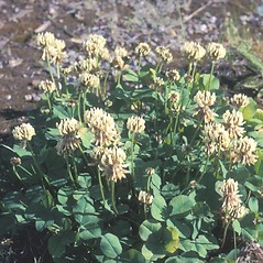 Plant form: Trifolium repens. ~ By Frank Bramley. ~ Copyright © 2019 New England Wild Flower Society. ~ Image Request, images[at]newenglandwild.org
