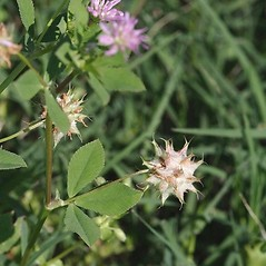 Fruits: Trifolium resupinatum. ~ By John Gwaltney. ~ Copyright © 2019 John Gwaltney. ~ southeasternflora.com ~ Southeastern Flora - www.southeasternflora.com/