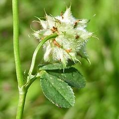 Stems: Trifolium resupinatum. ~ By Neal Kramer. ~ Copyright © 2019 Neal Kramer. ~ kramerbotanical[at]yahoo.com ~ CalPhotos - calphotos.berkeley.edu/flora/