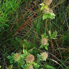 Plant form: Trifolium striatum. ~ By Michael Kesl . ~ Copyright © 2018 CC-BY-NC 3.0. ~  ~ Biolib - www.biolib.cz