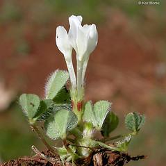 Plant form: Trifolium subterraneum. ~ By Keir Morse. ~ Copyright © 2018 Keir Morse. ~ www.keiriosity.com ~ www.keiriosity.com