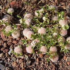 Plant form: Trifolium tomentosum. ~ By Neal Kramer. ~ Copyright © 2017 Neal Kramer. ~ kramerbotanical[at]yahoo.com ~ CalPhotos - calphotos.berkeley.edu/flora/