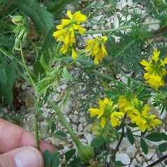 Flowers: Trigonella corniculata. ~ By Luigi Rignanese. ~ Copyright © 2020 Luigi Rignanese. ~ Requests for image use not currently accepted by copyright holder ~ luirig.altervista.org/flora/taxa/north-america.php