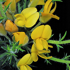 Flowers: Ulex europaeus. ~ By Gerry Carr. ~ Copyright © 2018 Gerry Carr. ~ gdcarr[at]comcast.net ~ Oregon Flora Image Project - www.botany.hawaii.edu/faculty/carr/ofp/ofp_index.htm