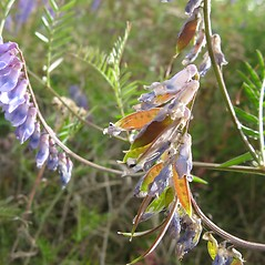 Fruits: Vicia cracca. ~ By Caleb Slemmons. ~ Copyright © 2020 CC BY-NC 3.0. ~  ~ Bugwood - www.bugwood.org/