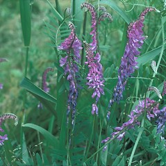 Plant form: Vicia cracca. ~ By Frank Bramley. ~ Copyright © 2018 New England Wild Flower Society. ~ Image Request, images[at]newenglandwild.org