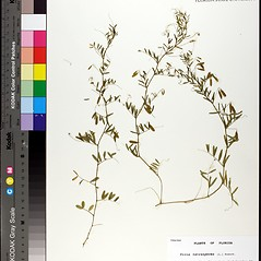 Stems: Vicia tetrasperma. ~ By Florida State University Godfrey Herbarium. ~ Copyright © 2019 CC BY-NC-SA 3.0. ~  ~ Morphbank - Biological Imaging - www.morphbank.net