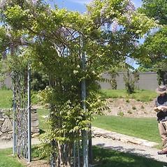 Plant form: Wisteria floribunda. ~ By Arnold Arboretum. ~ Copyright © 2017 Arnold Arboretum. ~ Arnold Arboretum Horticultural Library, hortlib[at]arnarb.harvard.edu