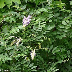 Plant form: Wisteria floribunda. ~ By Will Cook. ~ Copyright © 2017 Will Cook. ~ cwcook[at]duke.edu, carolinanature.com ~ North Carolina Plant Photos - www.carolinanature.com/plants/