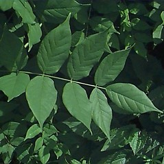 Leaves: Wisteria floribunda. ~ By Mark Brand. ~ Copyright © 2019 Mark Brand. ~ http://www.hort.uconn.edu/plants/index.html ~ UConn Plant Database of Trees, Shrubs, and Vines - www.hort.uconn.edu/plants/index.html