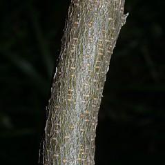 Bark: Wisteria sinensis. ~ By Steven Baskauf. ~ Copyright © 2018 CC-BY-NC-SA. ~  ~ Bioimages - www.cas.vanderbilt.edu/bioimages/frame.htm
