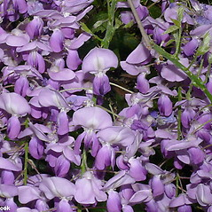 Flowers: Wisteria sinensis. ~ By Will Cook. ~ Copyright © 2018 Will Cook. ~ cwcook[at]duke.edu, carolinanature.com ~ North Carolina Plant Photos - www.carolinanature.com/plants/