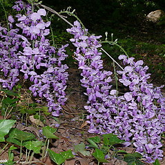 Flowers: Wisteria sinensis. ~ By Will Cook. ~ Copyright © 2019 Will Cook. ~ cwcook[at]duke.edu, carolinanature.com ~ North Carolina Plant Photos - www.carolinanature.com/plants/