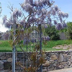 Plant form: Wisteria sinensis. ~ By Arnold Arboretum. ~ Copyright © 2019 Arnold Arboretum. ~ Arnold Arboretum Horticultural Library, hortlib[at]arnarb.harvard.edu
