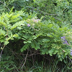 Plant form: Wisteria sinensis. ~ By Steven Baskauf. ~ Copyright © 2018 CC-BY-NC-SA. ~  ~ Bioimages - www.cas.vanderbilt.edu/bioimages/frame.htm