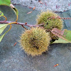 Fruits: Castanea dentata. ~ By Arthur Haines. ~ Copyright © 2019. ~ arthurhaines[at]wildblue.net