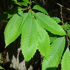 Leaves: Castanea dentata. ~ By Arthur Haines. ~ Copyright © 2019. ~ arthurhaines[at]wildblue.net