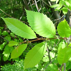 Leaves: Castanea dentata. ~ By Arthur Haines. ~ Copyright © 2017. ~ arthurhaines[at]wildblue.net