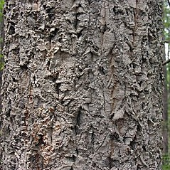 Bark: Castanea mollissima. ~ By Will Cook. ~ Copyright © 2019 Will Cook. ~ cwcook[at]duke.edu, carolinanature.com ~ North Carolina Plant Photos - www.carolinanature.com/plants/