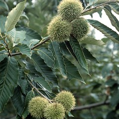 Fruits: Castanea mollissima. ~ By Jerry Payne. ~ Copyright © 2019 CC BY-NC 3.0. ~  ~ Bugwood - www.bugwood.org/