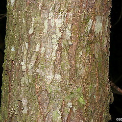 Bark: Castanea pumila. ~ By Will Cook. ~ Copyright © 2017 Will Cook. ~ cwcook[at]duke.edu, carolinanature.com ~ North Carolina Plant Photos - www.carolinanature.com/plants/