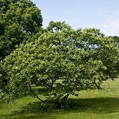 Plant form: Castanea pumila. ~ By Paul S. Drobot. ~ Copyright © 2018 Paul S. Drobot. ~ www.plantstogrow.com, www.plantstockphotos.com ~ Robert W. Freckmann Herbarium, U. of Wisconsin-Stevens Point