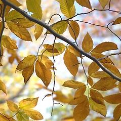 Leaves: Fagus grandifolia. ~ By Arieh Tal. ~ Copyright © 2018 Arieh Tal. ~ http://botphoto.com/ ~ Arieh Tal - botphoto.com