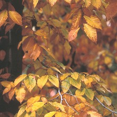 Leaves: Fagus grandifolia. ~ By Dorothy Long. ~ Copyright © 2019 New England Wild Flower Society. ~ Image Request, images[at]newenglandwild.org