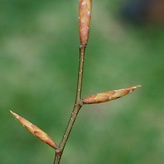 Winter buds: Fagus grandifolia. ~ By Carol Levine. ~ Copyright © 2018 Carol Levine. ~ carolflora[at]optonline.net
