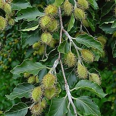 Fruits: Fagus sylvatica. ~ By Leo Michels. ~  Public Domain. ~  ~ Imagines Plantarum - www.imagines-plantarum.de/