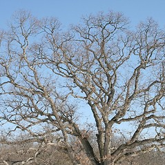 Plant form: Quercus alba. ~ By Arieh Tal. ~ Copyright © 2020 Arieh Tal. ~ http://botphoto.com/ ~ Arieh Tal - botphoto.com