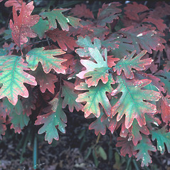 Leaves: Quercus alba. ~ By Cheryl Lowe. ~ Copyright © 2019 New England Wild Flower Society. ~ Image Request, images[at]newenglandwild.org