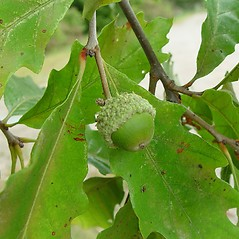 Fruits: Quercus bicolor. ~ By Arthur Haines. ~ Copyright © 2020. ~ arthurhaines[at]wildblue.net
