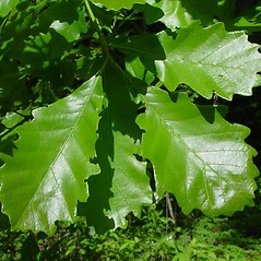 Leaves: Quercus bicolor. ~ By Arthur Haines. ~ Copyright © 2020. ~ arthurhaines[at]wildblue.net