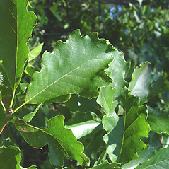 Leaves: Quercus bicolor. ~ By Donald Cameron. ~ Copyright © 2020 Donald Cameron. ~ No permission needed for non-commercial uses, with proper credit