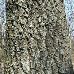 Bark: Quercus cerris. ~ By Franco Giordana. ~ Copyright © 2019 Franco Giordana. ~ francogrd[at]gmail.com ~ Acta Plantarum -  www.actaplantarum.org
