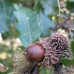 Fruits: Quercus cerris. ~ By Piero Amorati. ~ Copyright © 2018 CC BY 3.0. ~  ~ Bugwood - www.bugwood.org/