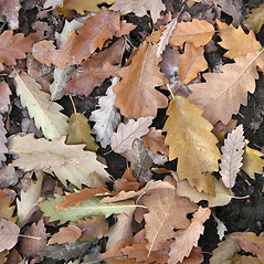 Leaves: Quercus cerris. ~ By Robert Vid_ki. ~ Copyright © 2018 CC BY-NC 3.0. ~  ~ Bugwood - www.bugwood.org/