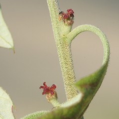Flowers: Quercus ilicifolia. ~ By Arieh Tal. ~ Copyright © 2018 Arieh Tal. ~ http://botphoto.com/ ~ Arieh Tal - botphoto.com