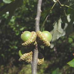 Fruits: Quercus ilicifolia. ~ By Donald Cameron. ~ Copyright © 2017 Donald Cameron. ~ No permission needed for non-commercial uses, with proper credit