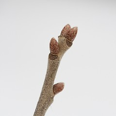 Winter buds: Quercus ilicifolia. ~ By Arieh Tal. ~ Copyright © 2018 Arieh Tal. ~ http://botphoto.com/ ~ Arieh Tal - botphoto.com