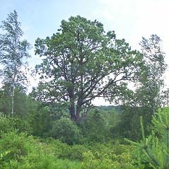 Plant form: Quercus macrocarpa. ~ By Marybeth Hanley. ~ Copyright © 2018 Marybeth Hanley. ~ mbahanley[at]yahoo.com