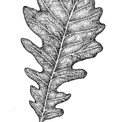 Leaves: Quercus macrocarpa. ~ By Elizabeth Farnsworth. ~ Copyright © 2018 New England Wild Flower Society. ~ Image Request, images[at]newenglandwild.org