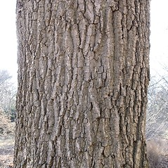 Bark: Quercus montana. ~ By Arieh Tal. ~ Copyright © 2020 Arieh Tal. ~ http://botphoto.com/ ~ Arieh Tal - botphoto.com